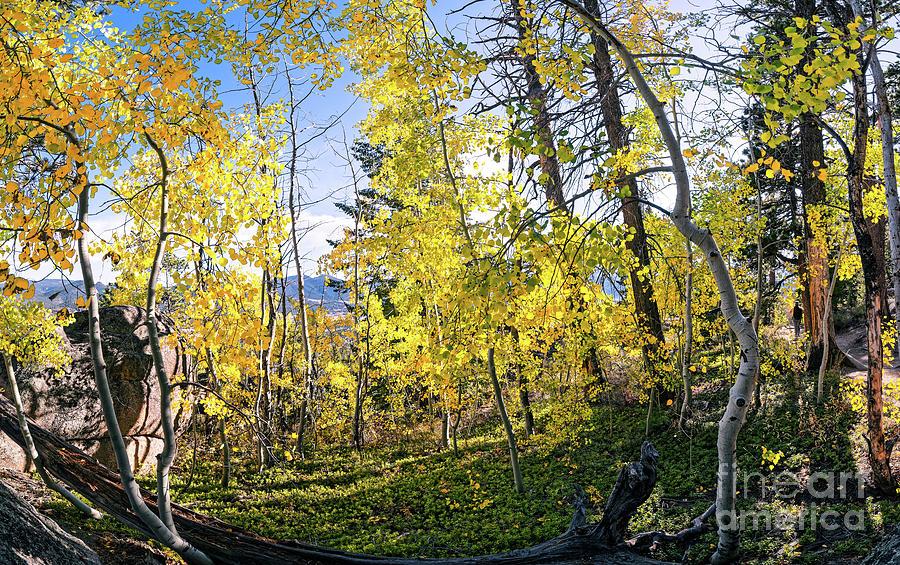 Intimate Aspen Study - Gem Lake Trail Rocky Mountains Estes Park Colorado Photograph