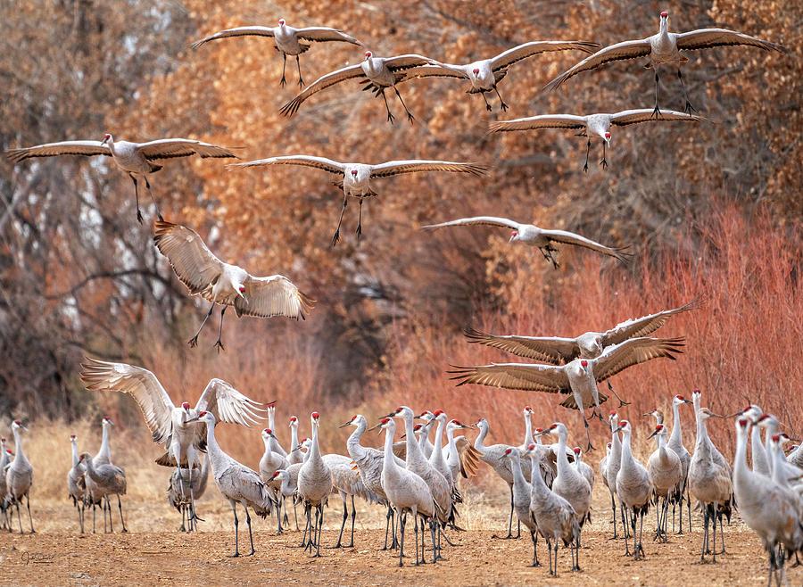 Invasion of the Cranes by Judi Dressler