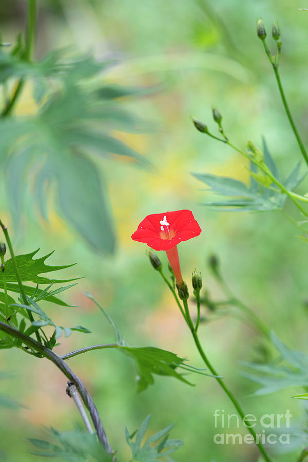 Red Morning Glory Photograph - Ipomoea Coccinea Flower by Tim Gainey