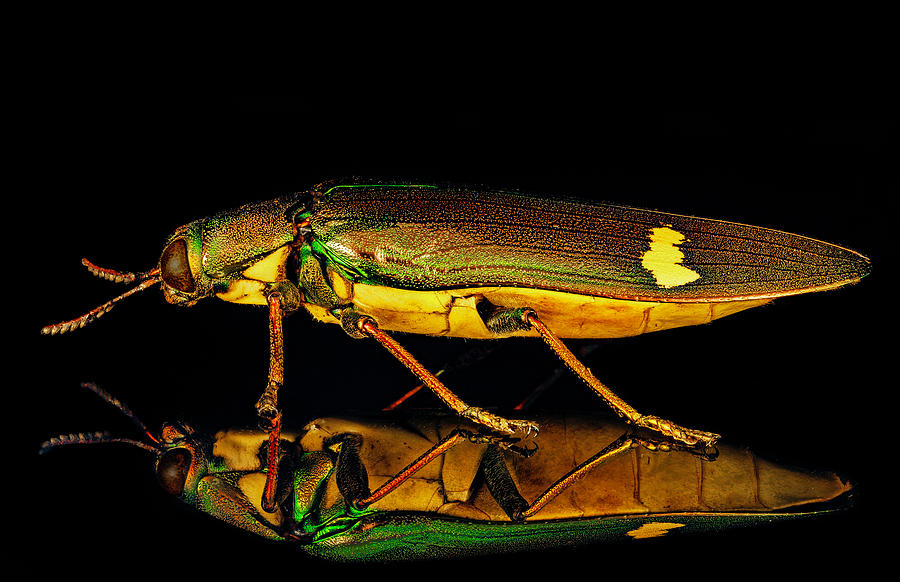 Iridescent Jewel Beetle by Gary Shepard