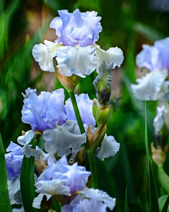 Iris 1 by Marty Koch