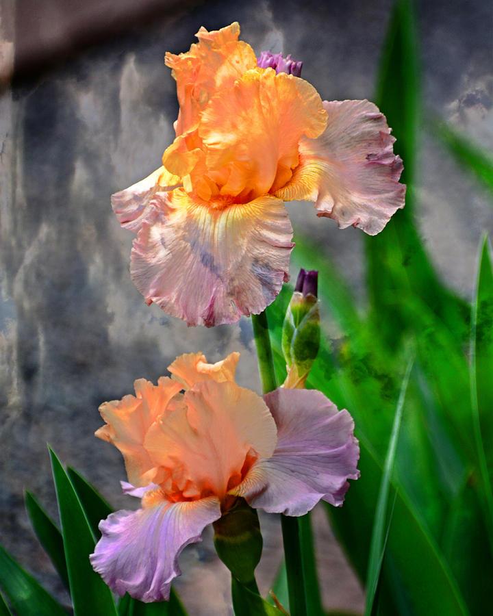Iris 2 by Marty Koch