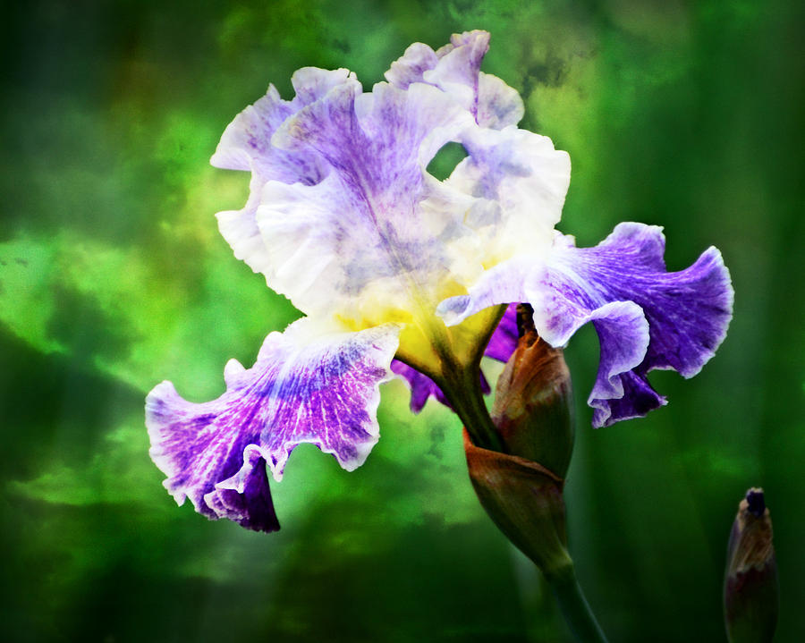 Iris 3 by Marty Koch