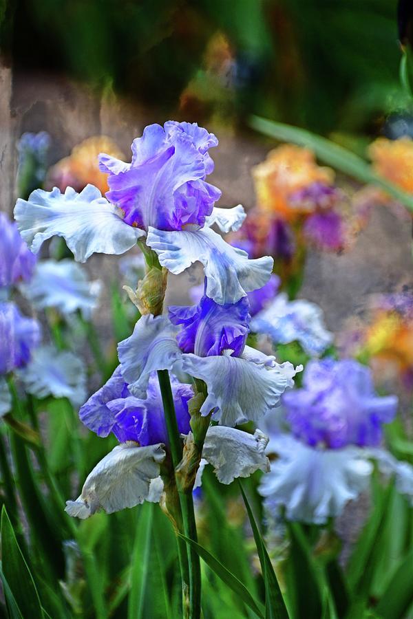 Iris 4 by Marty Koch