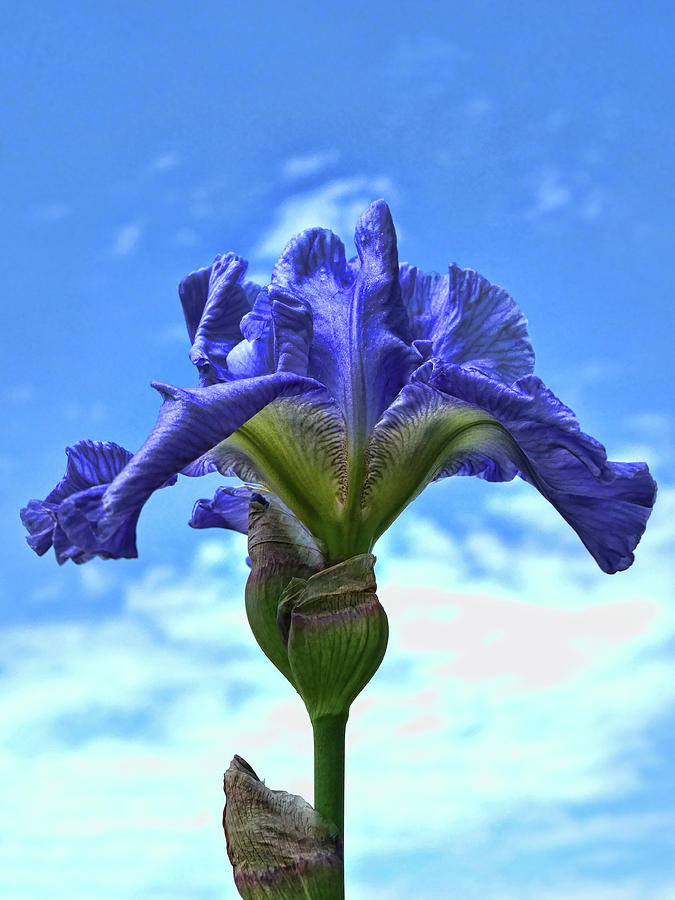 Iris 48 Reaching For The Sky Photograph