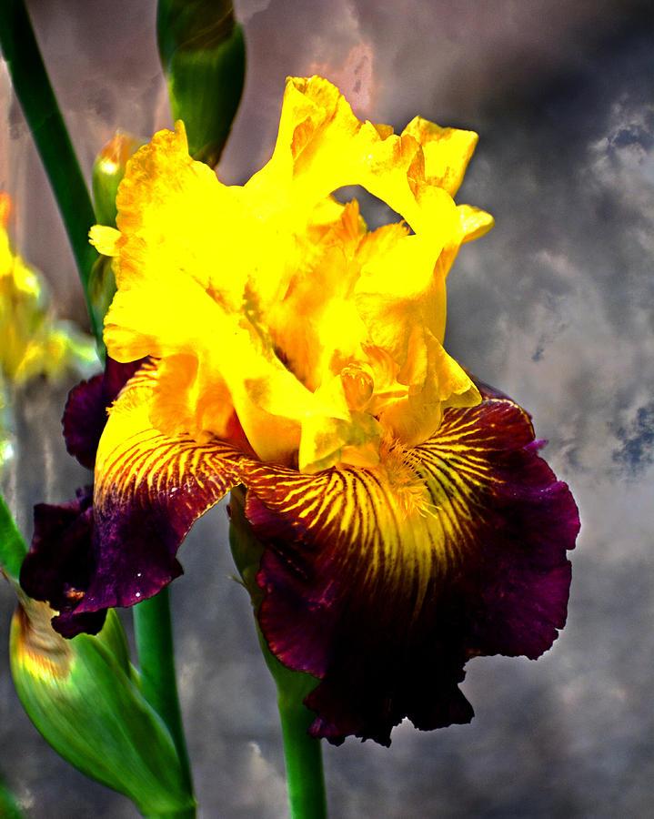 Iris 5 by Marty Koch