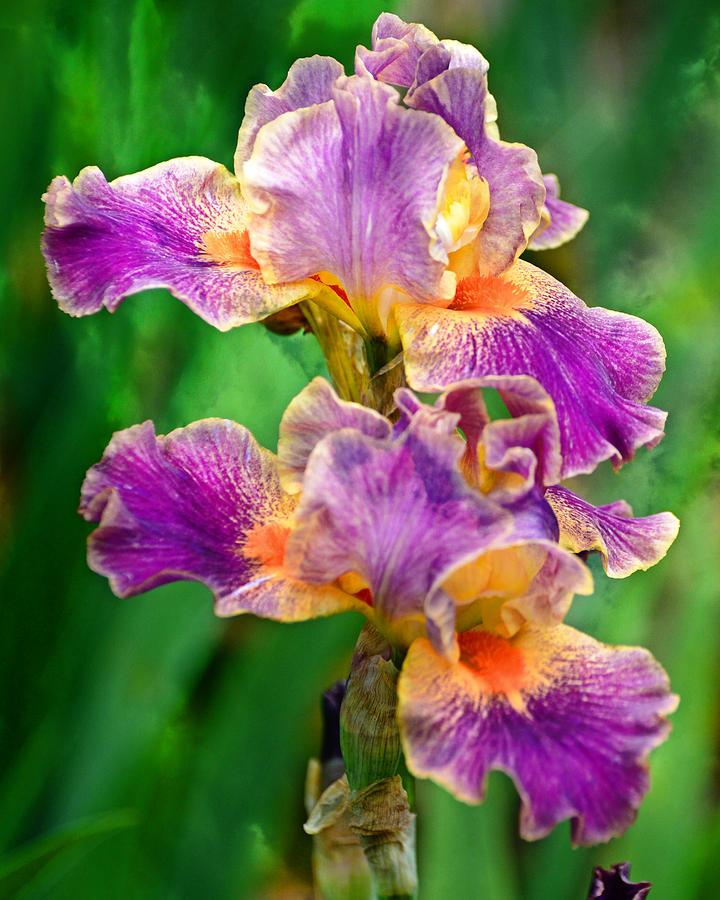 Iris 6 by Marty Koch