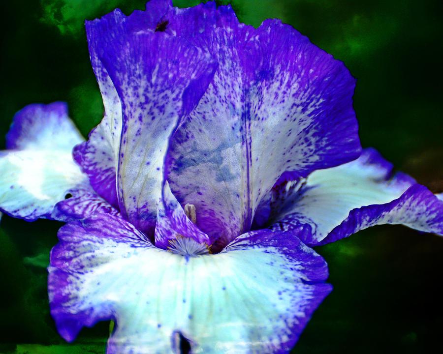 Iris 7 by Marty Koch