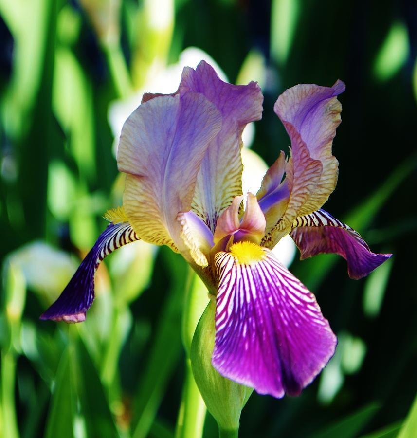Iris by Eileen Brymer