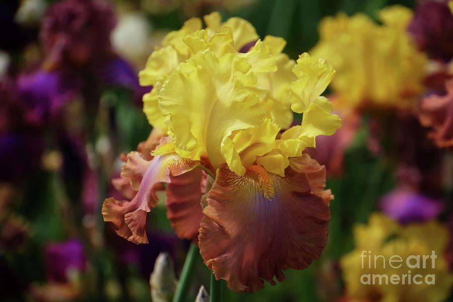 Iris Euphoria by Rachel Cohen