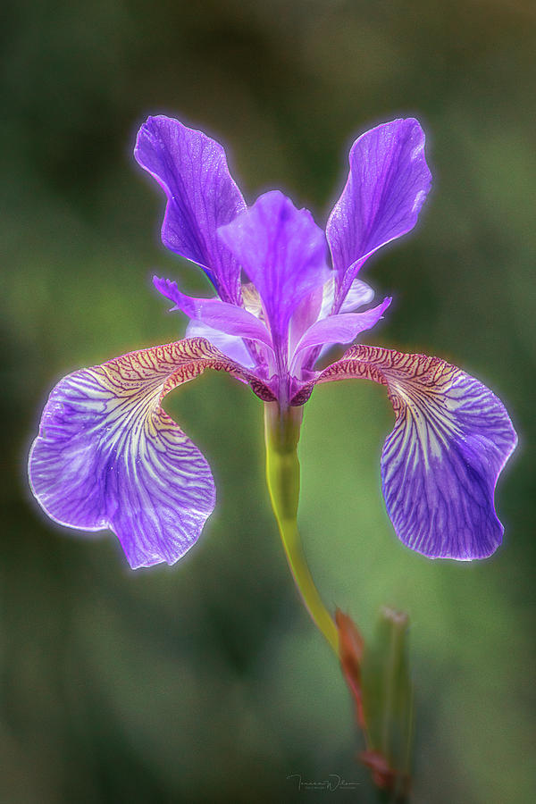 Iris Glow by TL Wilson Photography by Teresa Wilson