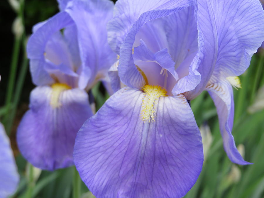 Iris In Spring Photograph