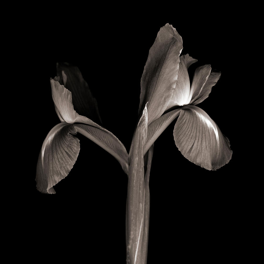 Iris Iris On Black Background Photograph by Magda Indigo