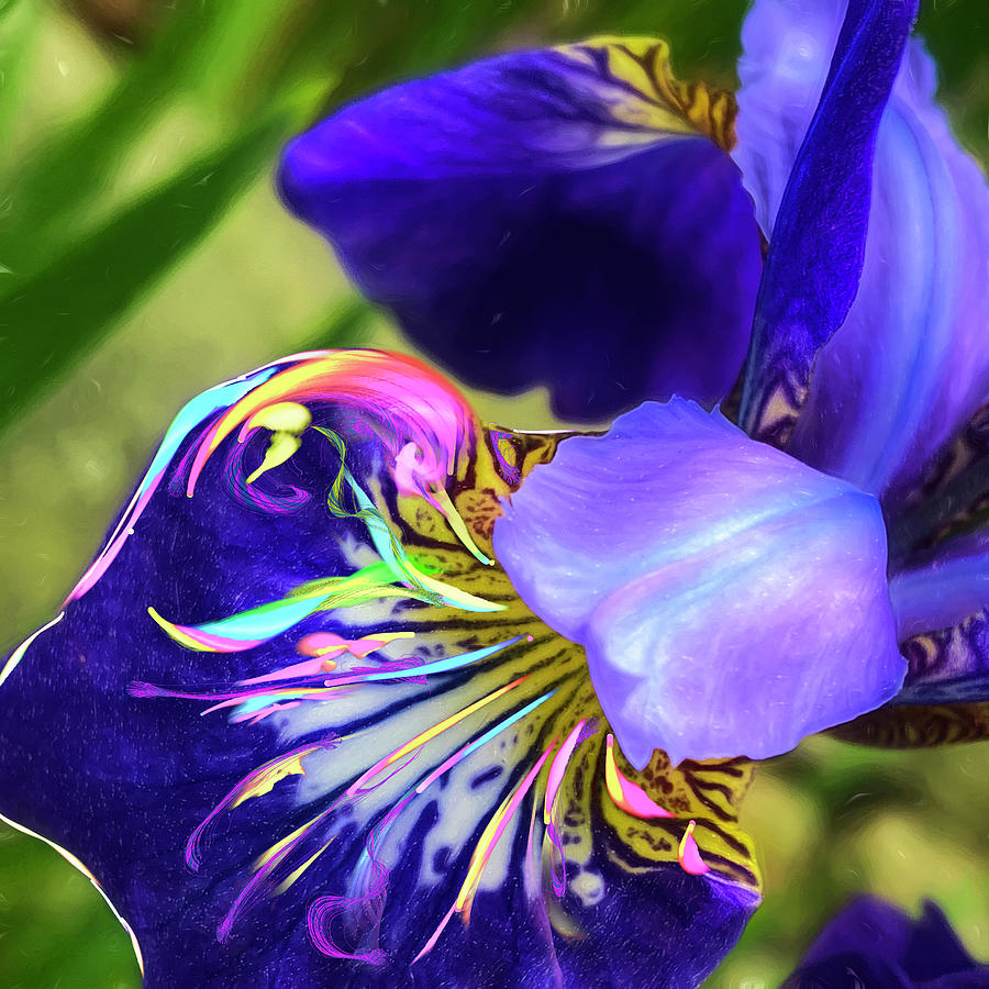 Iris Osirus by Cindy Greenstein