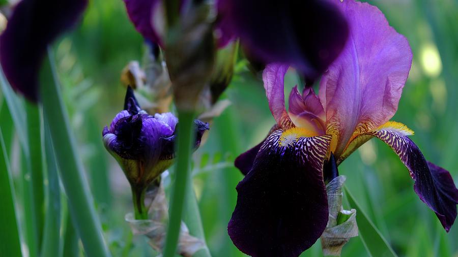 Iris Season by August Timmermans