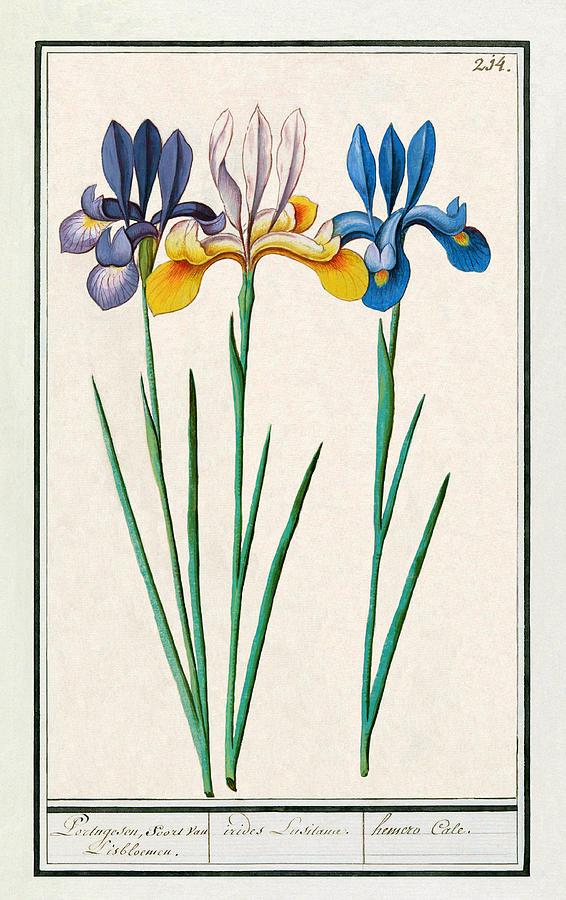 Iris Sibirica by Ruth Moratz