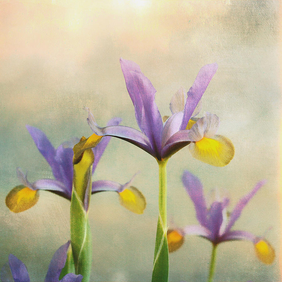Iris Sunrise  by Connie Handscomb