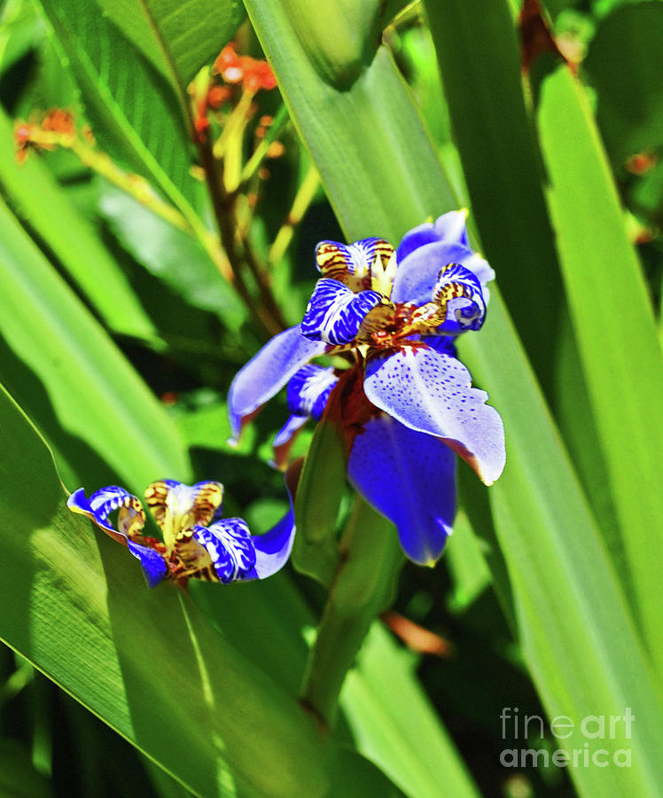 Iris Up Close by George D Gordon III