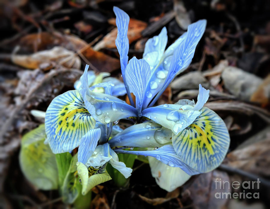 Iris With Droplets  by Kerri Farley