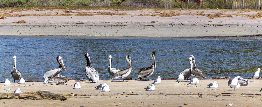 Pelicans Photograph - Is Everyone Here by Gene Parks