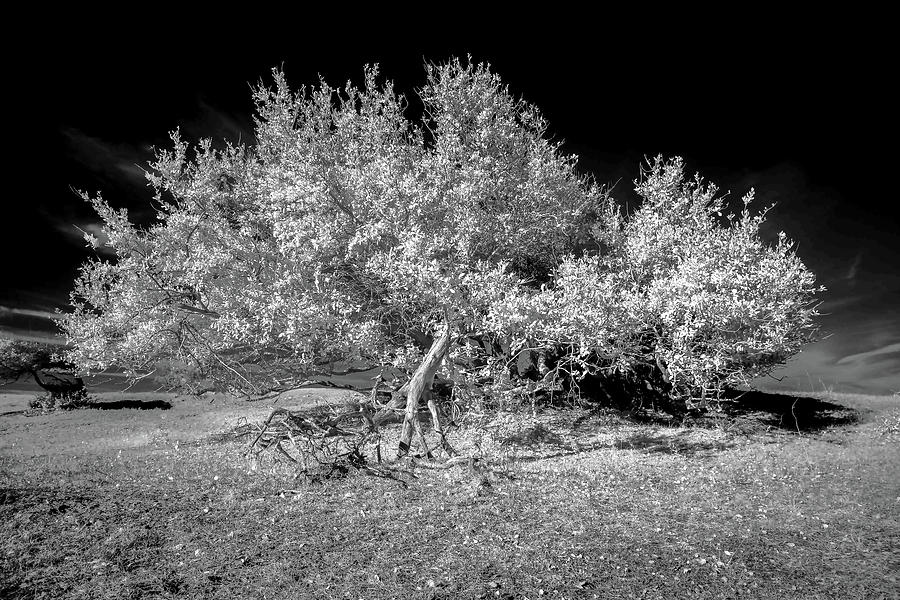 Island Oak in Infrared by Paula OMalley