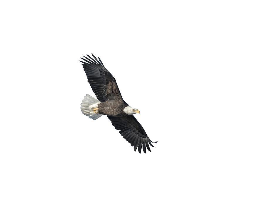 Bald Eagle Photograph - Isolated Bald Eagle 2018-2 by Thomas Young
