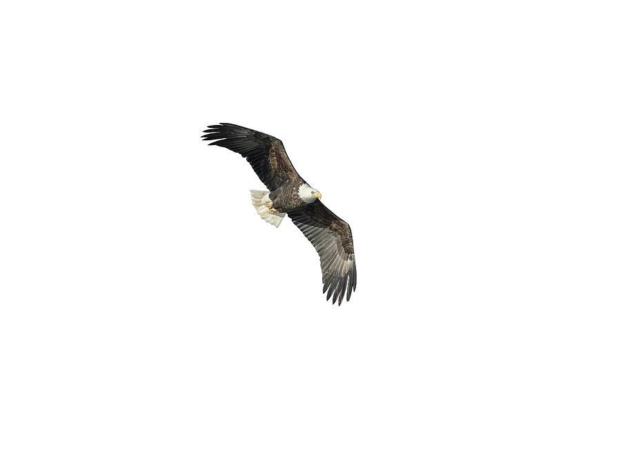 Bald Eagle Photograph - Isolated Bald Eagle 2018-4 by Thomas Young