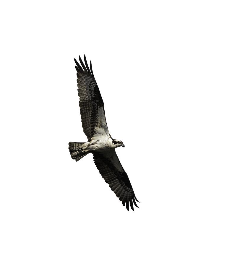 Isolated Osprey 2019-3 by Thomas Young