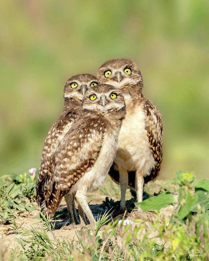 It's a plane, it's a bug, it's a bird -- burrowing owl babies by Judi Dressler