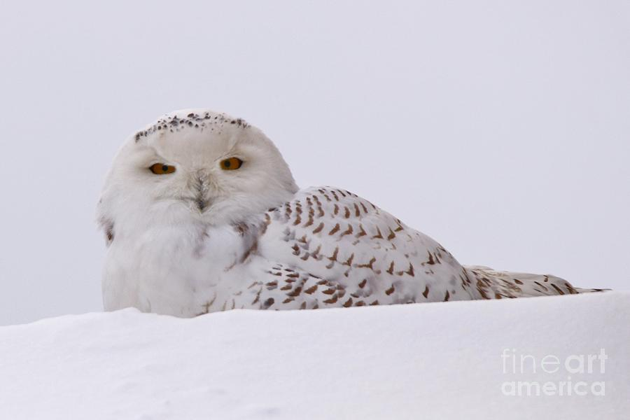 Snowy Owl Photograph - Its All In The Eyes by Tony Lee
