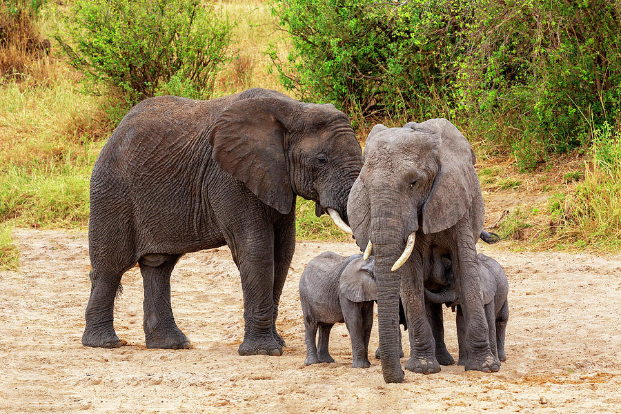 Elephant Photograph - Its Twins by Kay Brewer