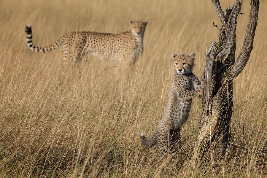 Cheetah Photograph - Ive Got It Mum by Renee Doyle