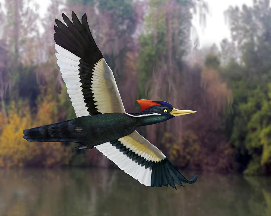 Ivory-billed Woodpecker by Mark Miller