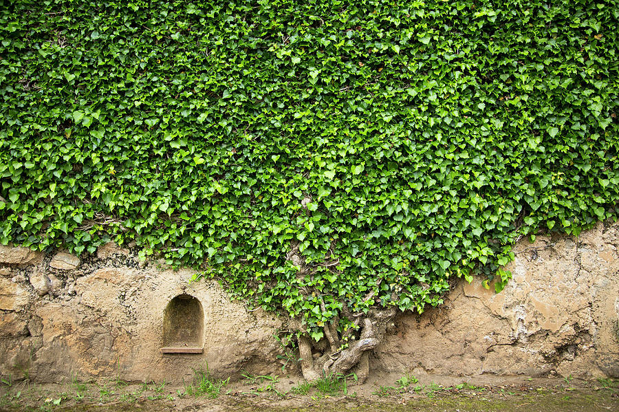 Ivy On A Wall Of Villa Cimbrone, Ravello Photograph by Buena Vista Images