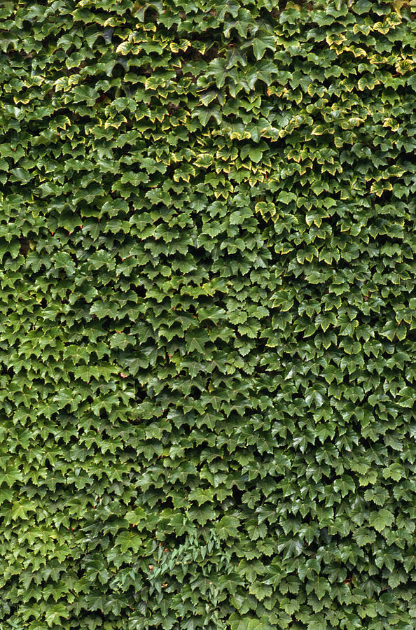 Ivy On A Wall Photograph by Siede Preis