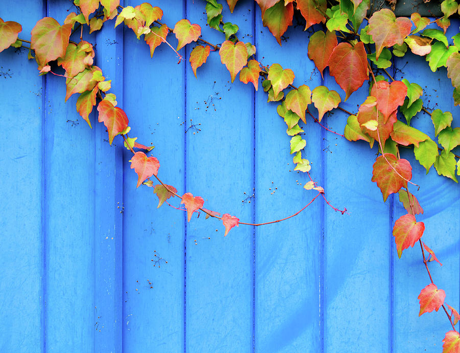 Ivy On The Door Photograph by Zianlob