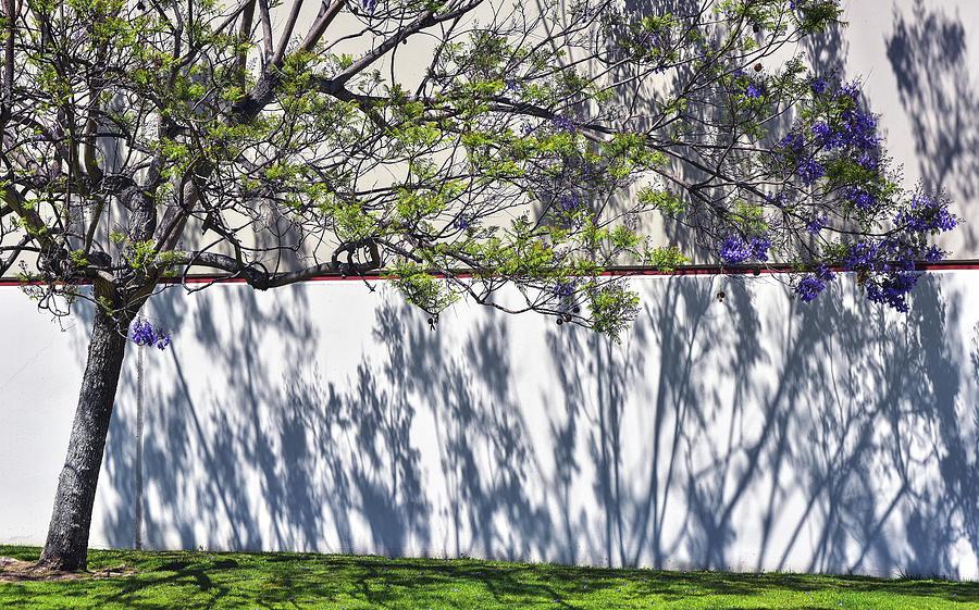 Jacaranda Tree With Shadows On Wall 1 Photograph