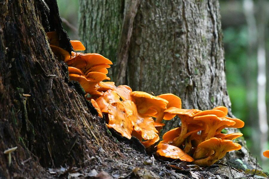Eastern America Jack O Lantern Mushroom