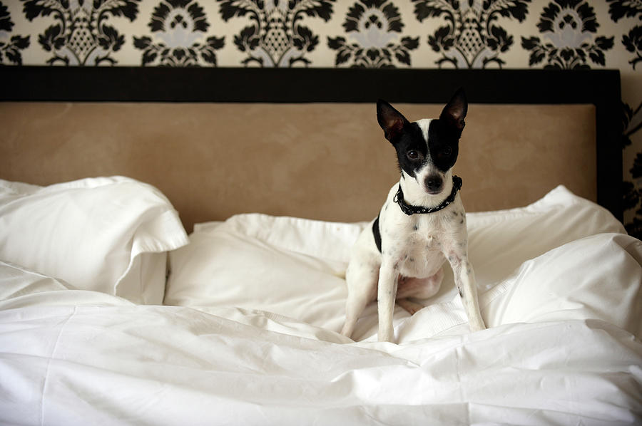 Jack Russell Dog Sitting On Unmade Bed Photograph by Janie Airey