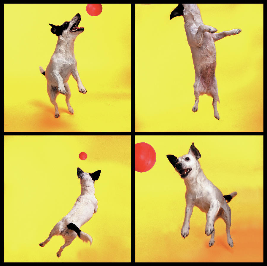 Jack Russell Jumping For Ball Photograph by Photodisc