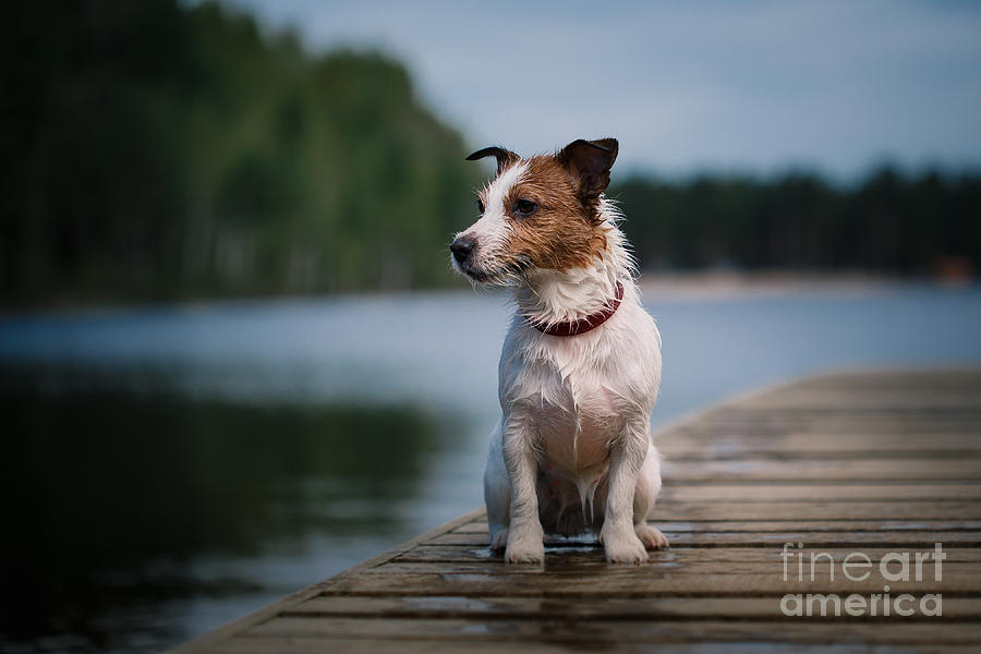 Play Photograph - Jack Russell Terrier Dog Playing by Dezy