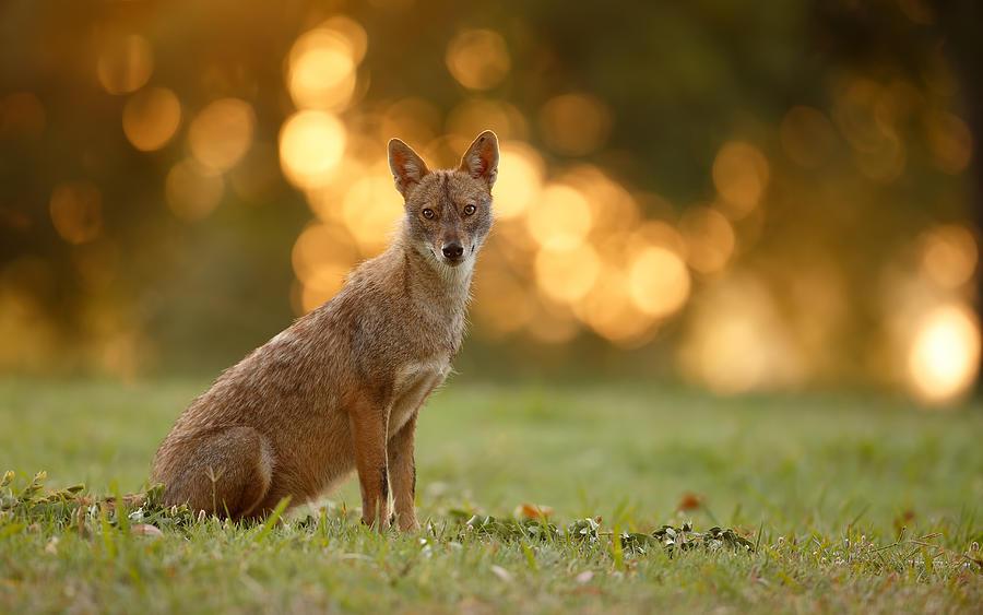 Wild Photograph - Jackal Portrait by Assaf Gavra