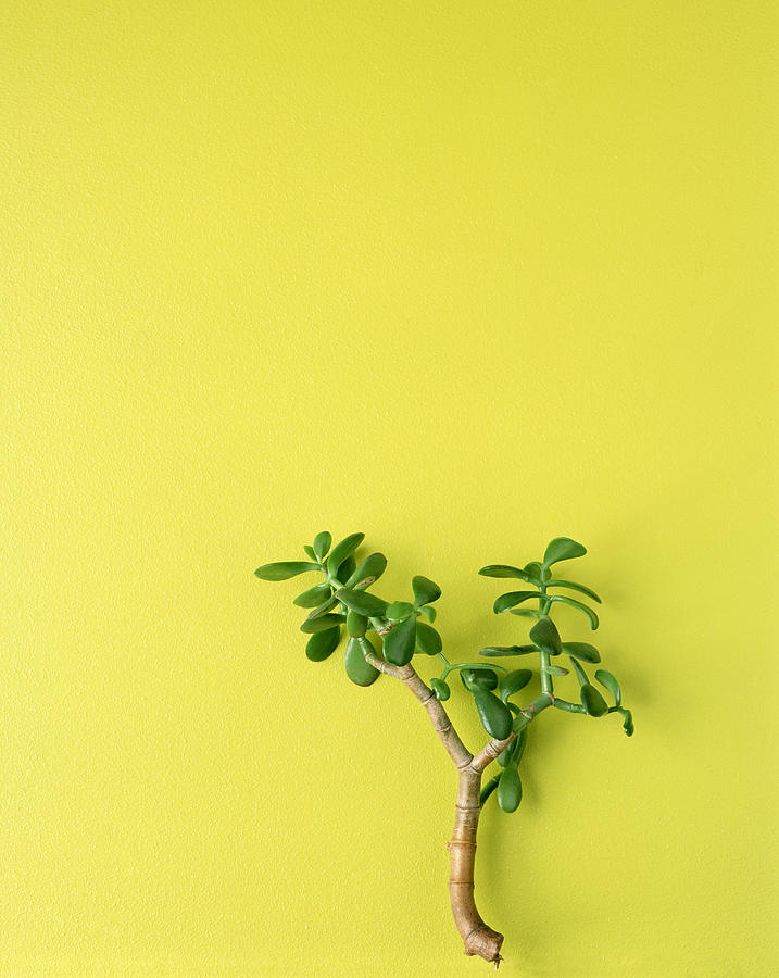 Jade Plant Photograph by Steve Cohen
