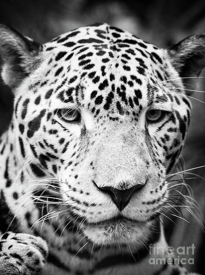 Jaguar Cat Portrait Black and White by Tim Hester
