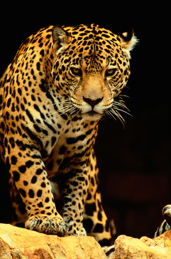 Jaguar Panthera Onca, Black Background Photograph by Art Wolfe