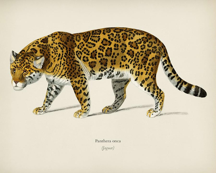 Animal Painting - Jaguar  Panthera Onca  Illustrated By Charles Dessalines D Orbigny  1806-1876  by Celestial Images