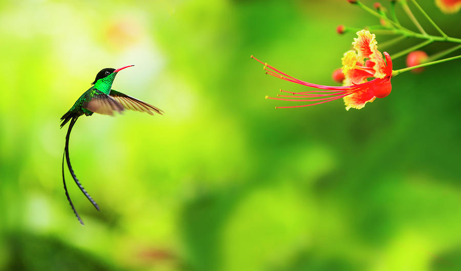 Jamaica, Hummingbird In Flight Photograph by Tetra Images