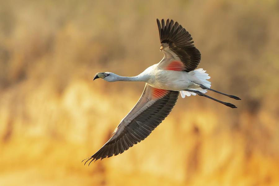 James flamingo in flight by Pablo Rodriguez Merkel