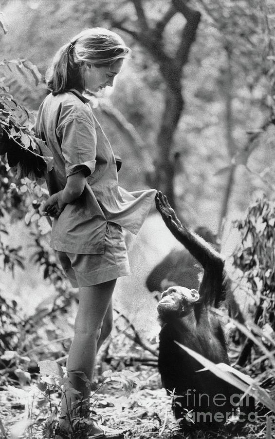 Jane Goodall With A Chimpanzee Photograph by Bettmann