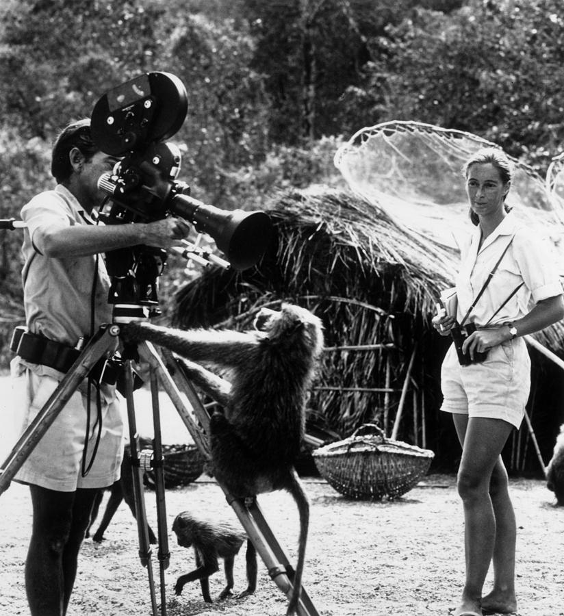 Janes Baboons Photograph by Hulton Archive